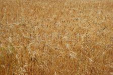 Rusya 2017'de Tahıl Hasatını 110 Milyon Ton Bekliyor